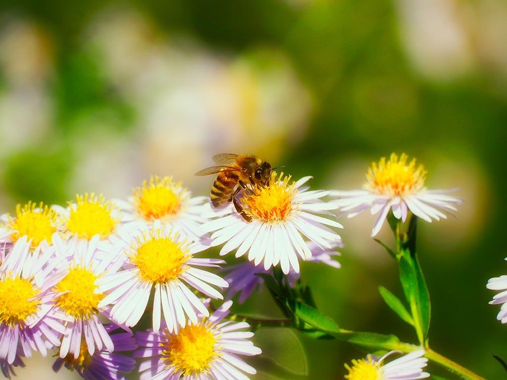 Sementi per api